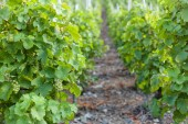 vineyard with green vine grapes