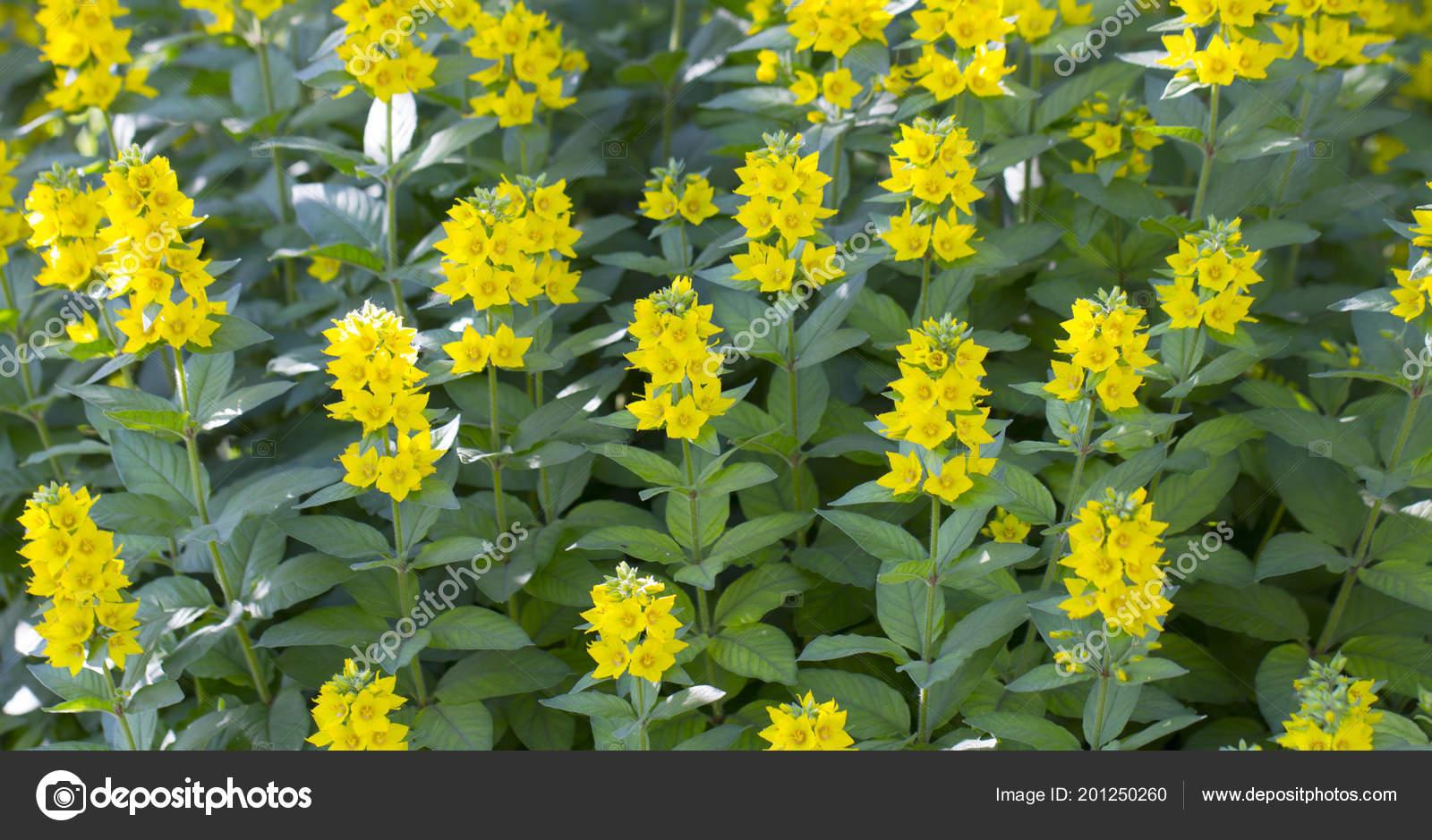 Lysimachia vulgaris flower Yellow beautiful flower on the