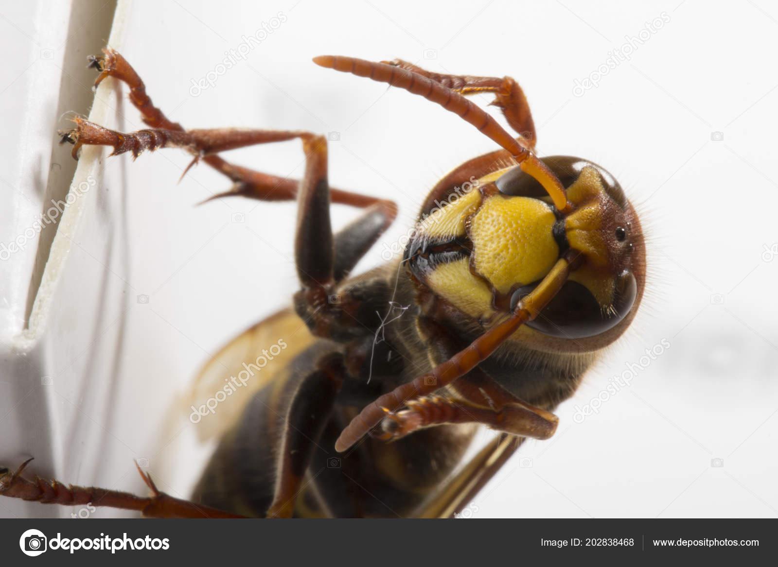 Hornet скачать браузер.