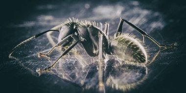 Monochrome photograph of a black garden ant, closeup
