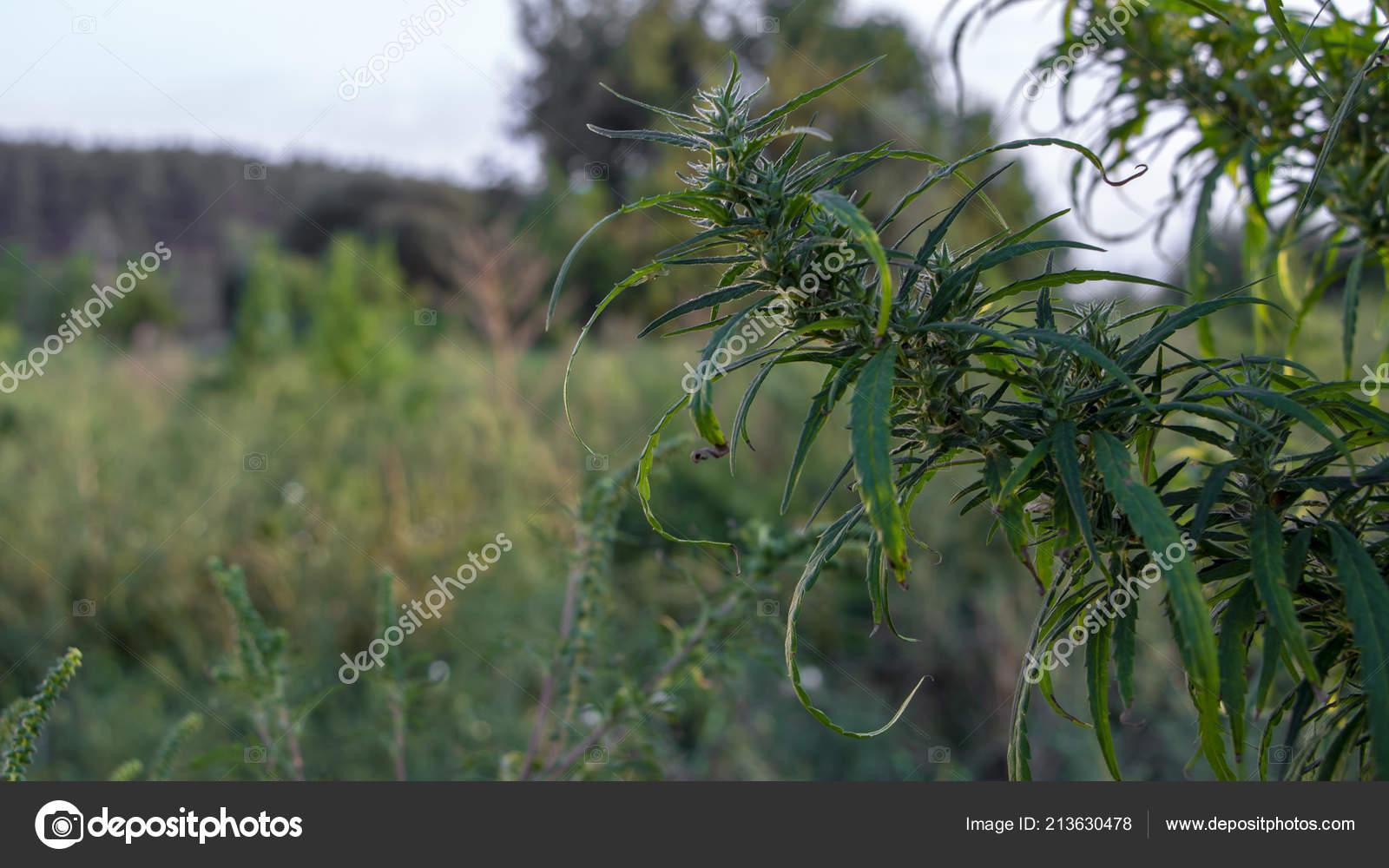 Семена конопли созрели кепка с коноплей