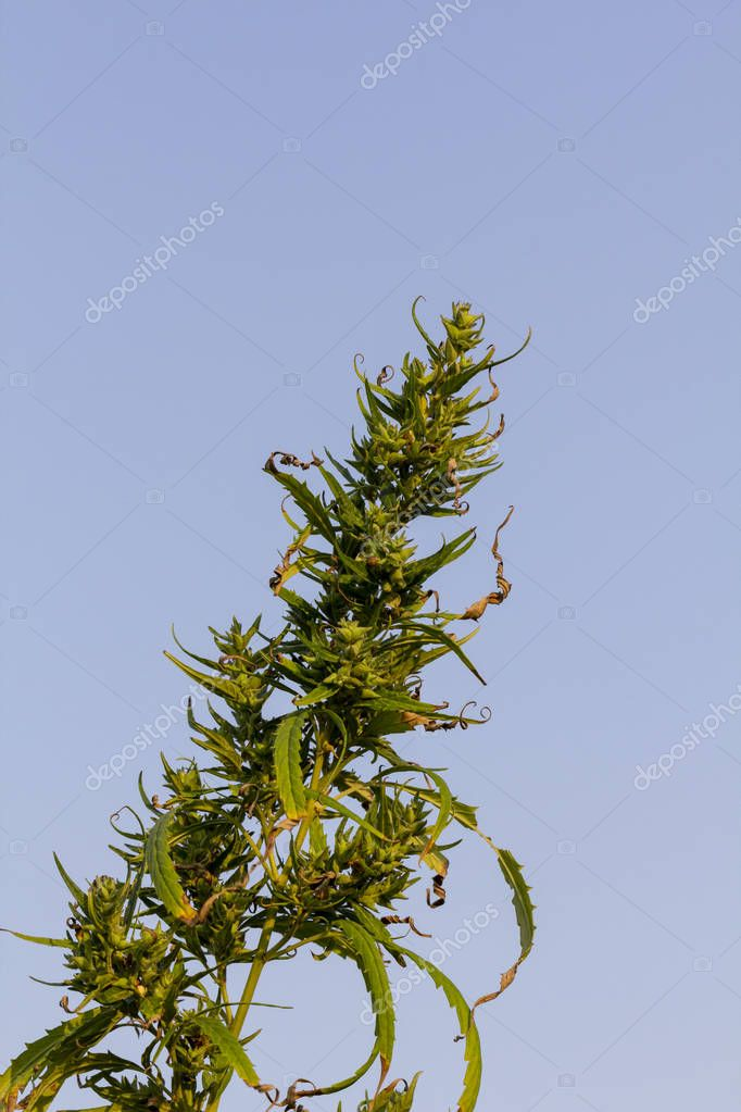 A marijuana bush, with strong branches on which ripe seeds. Close up