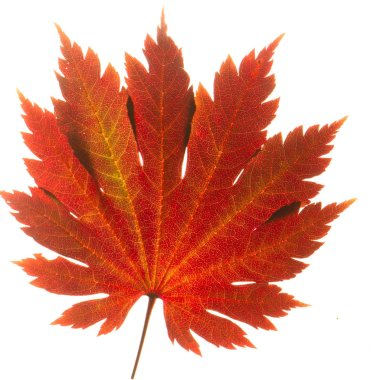 Yellow sheet of Japanese maple on a white background close up
