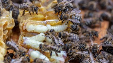 Larva Honey Bee and bees in Bee hive.