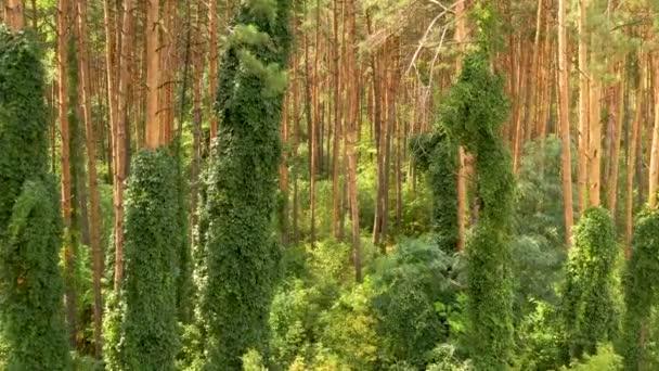 4k repülő drón egy fenyőerdőben, buja zöld növényzet a fatörzsek