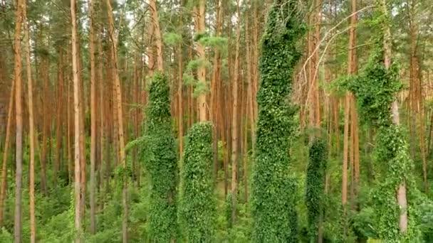 4k létání dron v borovém lese, s bujnou zelenou vegetací na kmenech stromů