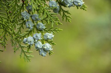 Young beautiful thuja seeds on a green branch. background
