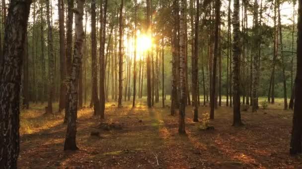 Friss Ködös reggel egy fenyves erdőben, a napok sugarak alá a földre, a fák ágai
