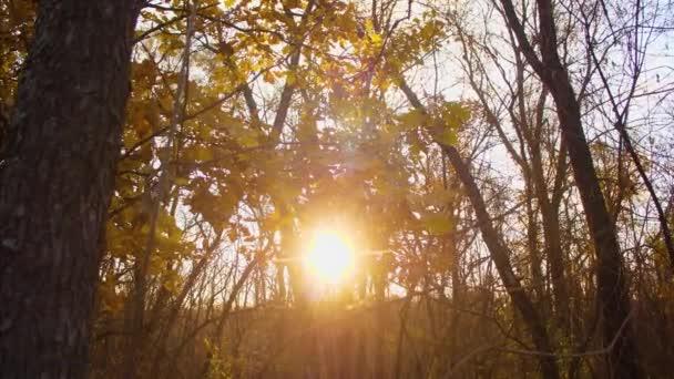 Žluté dubovými ratolestmi houpačka na větvích v slunce, podzimní les osvětlena Sluncem