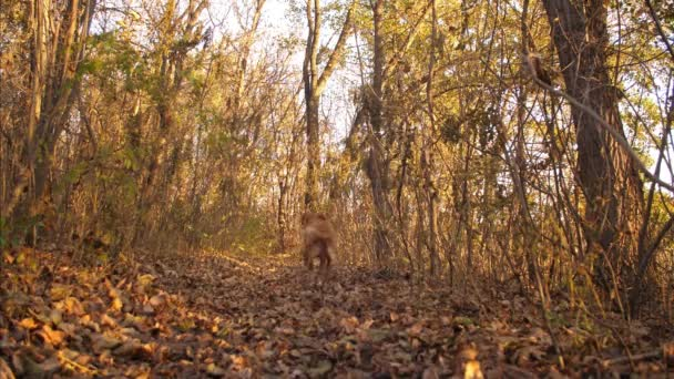 beautiful dog runs along a forest path strewn with foxes