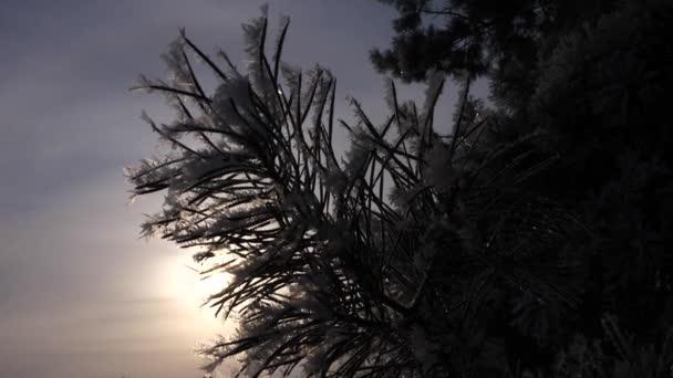 smrkové jehličí jsou pokryty jinovatka, silueta borové větve proti pozadí zimní slunce. detail. v parku v zimě, silné mrazy.
