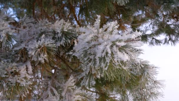 Beautiful pine branches covered with frost in the winter forest. close-up