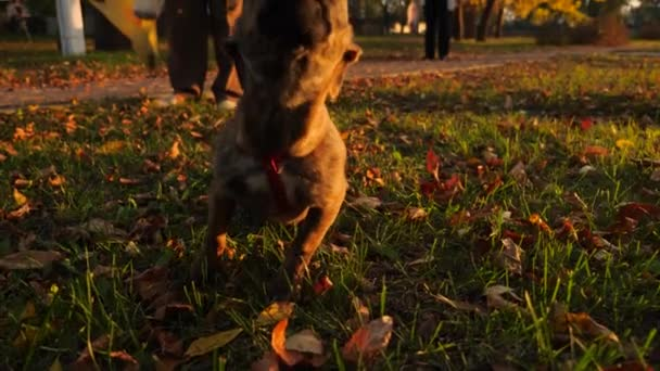 Curious beautiful puppy pokes his face into camera lens. Mistress walks her dog on leash in Park in autumn on lawn