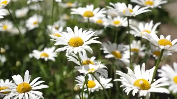 bílé květy se třese vítr v summerfield. Krásné daisy květiny na jaře na louce. Květinový koncept podnikání. detail