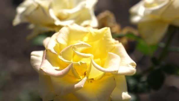 Krásné žluté růže kvetou v létě na zahradě. detail. Květinový koncept podnikání. Krásné květiny kvetou na jaře v parku.