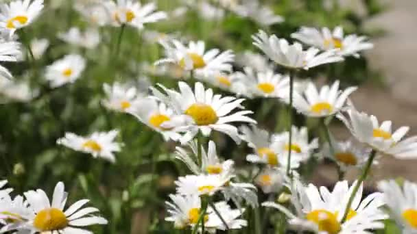 Beautiful daisies bloom in summer on field. Phytotherapy. environmentally friendly medicinal herbs. Flower business concept. close-up. white daisy flowers shakes wind in the summer field.