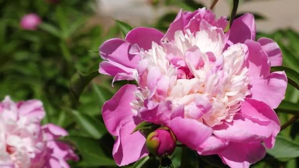 Krásné červené květy pivoňky kroutí vítr na jaře na zahradě. Krásné květiny kvetou Paeonia lactiflora na jaře na květinový záhon. Květinový koncept podnikání. detail