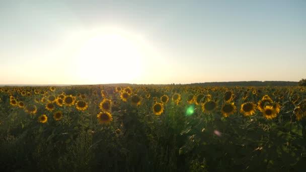 krásné kvetoucí slunečnice pole v paprscích krásný východ slunce. zemědělské obchodní koncepce. organický sklizeň slunečnice.