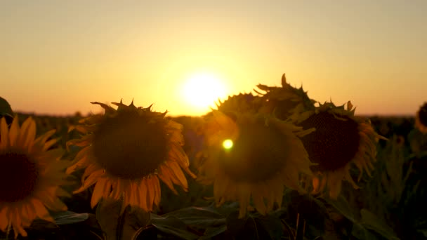 beautiful sunflower flowers in a field in the rays of a beautiful sunrise. close-up. agricultural business concept. organic harvest sunflower.