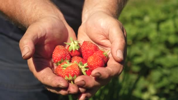 Mužské ruka ukazuje červené jahody ve svých rukou. farmář shromažďuje zralé bobule. zahradník dlaň ukazuje lahodné jahody v létě na zahradě. detail