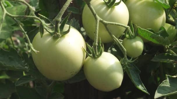 green tomatoes are hanging on a branch, close-up. unripe tomatoes on a farmers plantation. Fetus of tomato plant in greenhouse. agricultural business