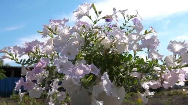 útulné nádvoří s květinami. Petúnie květy purpurové v letní zahradě. detail. Zestárla. Krásné květiny kvetou na jaře v parku.
