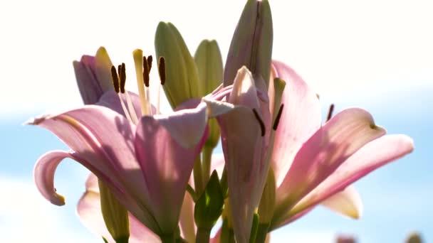 Szép virágok nyílnak tavasszal a parkban. Rózsaszín kert liliom virágzik a nyári kert. Közeli. Virágüzlet.