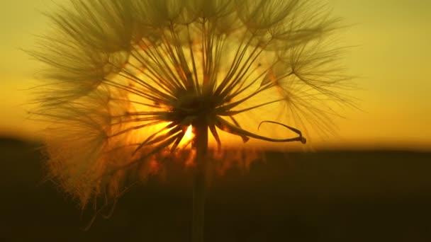 virágzó pitypang virág a napfelkeltét. Közeli. Gyermekláncfű a területen a háttérben egy gyönyörű naplemente. bolyhos pitypang a napon.