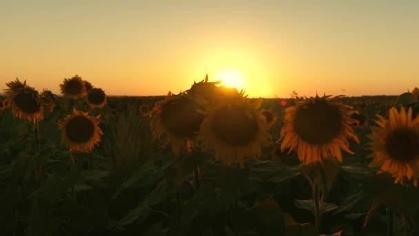 kvetoucí slunečnice pole v paprscích krásný západ slunce. zemědělské obchodní koncepce. organický sklizeň slunečnice.