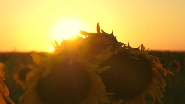 kvetoucí slunečnice pole v paprscích krásný západ slunce. detail. zemědělské obchodní koncepce. organický sklizeň slunečnice.
