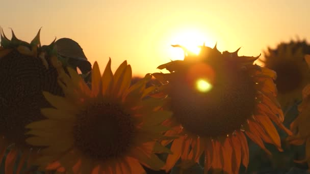 beautiful blooming sunflower field in the rays of a beautiful sunrise. close-up. ecologically clean crop of sunflower. agricultural business concept. organic harvest sunflower.