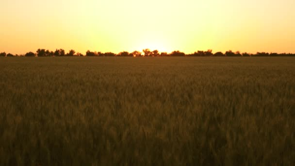 Grain harvest ripens in summer. The concept of agricultural business. organic wheat. Field of ripening wheat against sunset. ripe wheat spikelets with grain in the summer evening.