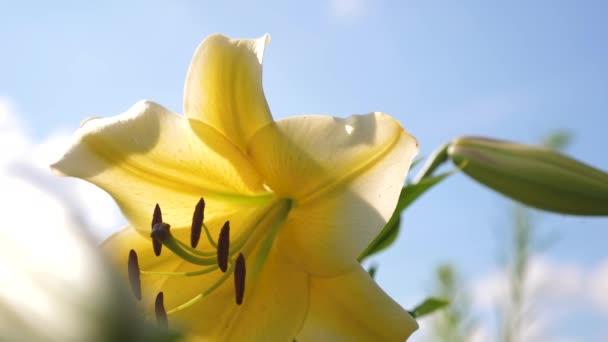 Žlutá zahradní lily kvete v létě proti modré obloze. detail. Zestárla. Krásné květiny na jaře v parku. pestíky a tyčinka houpačka v květní pupen