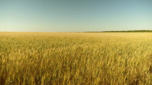 Spikelets of wheat with grain shakes the wind. environmentally friendly wheat. field of ripening wheat against the blue sky. grain harvest ripens in summer. agricultural business concept.