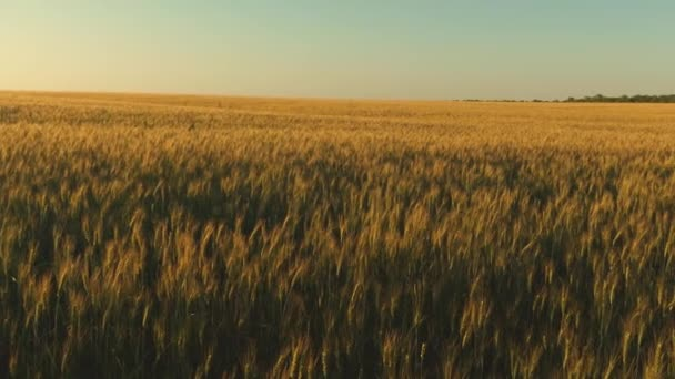 grain harvest ripens in summer. field of ripening wheat against the blue sky. Spikelets of wheat with grain shakes the wind. agricultural business concept. environmentally friendly wheat