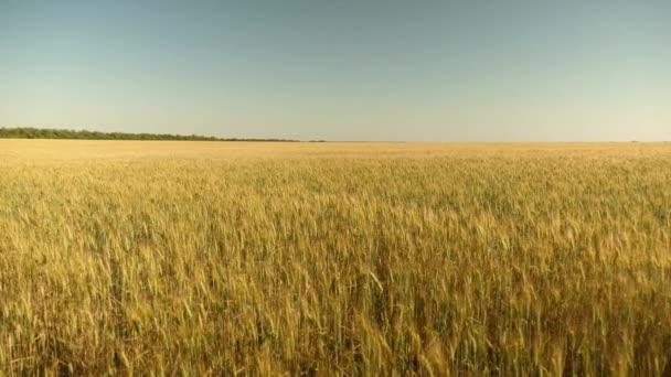 környezetbarát búzát. a kék ég ellen érlelő búza. Spikelets a búza és a gabona rázza a szél. gabona betakarítás érik nyáron. mezőgazdasági üzleti koncepció.