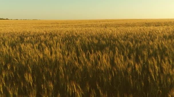 gabona betakarítás érik nyáron. a kék ég ellen érlelő búza. Spikelets a búza és a gabona rázza a szél. mezőgazdasági üzleti koncepció. környezetbarát búza