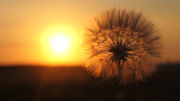 při východu slunce kvete pamllví květ. Close-up. Dandelion v terénu na pozadí krásného zapadajícího slunce. načechraný Pampeliška na slunci.