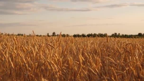 szép fülek érett gabona uralkodik a szél. érett gabonatermesztés az ég felé. Gyönyörű ég felhők vidéken több mint egy területen a búza. Egy hatalmas sárga mező a búza arany napsugarak.