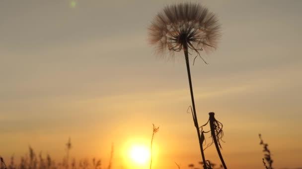 Dandelion v terénu na pozadí krásného zapadajícího slunce. při východu slunce kvete pamllví květ. načechraný Pampeliška na slunci.