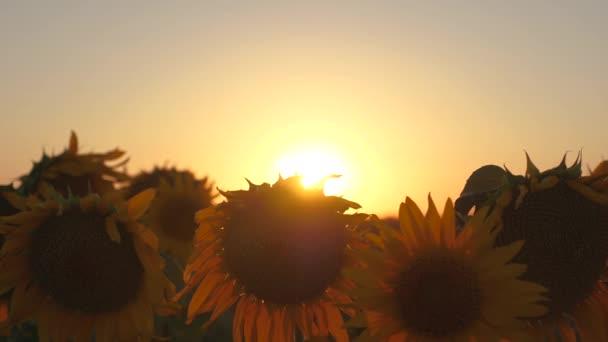 krásné kvetoucí slunečnice pole v paprscích krásný východ slunce. detail. ekologicky čistá sklizeň slunečnice. zemědělské obchodní koncepce. organický sklizeň slunečnice.