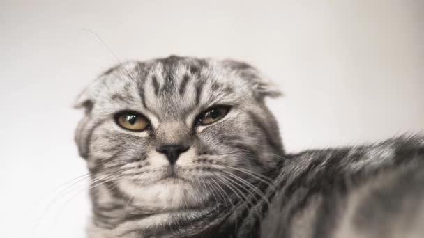 vidám macska hazudik és néz levegőbe fényképezőgép lencse. Közeli. gyönyörű brit skót Fold macska. kisállat pihen a szobában. gyönyörű cirby macska.