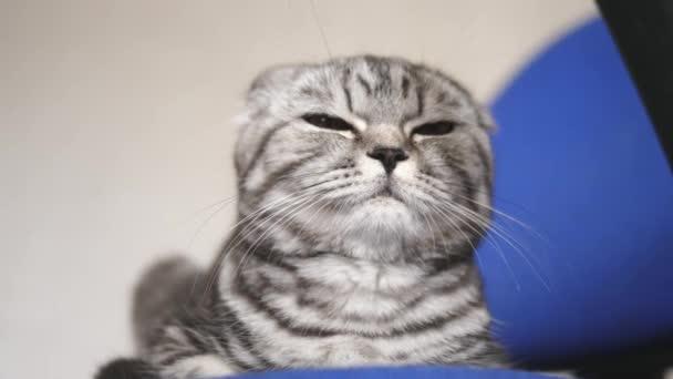 Britská Skotská kocoura. kočka lže. v místnosti odpočívá v pokoji. krásná kočka.