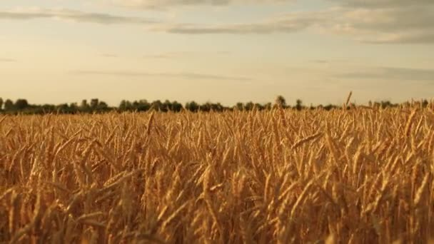 sky with clouds over a field of wheat. beautiful ears with ripe grain sway in wind. ripe cereal harvest against sky. A huge yellow field of wheat in golden rays of sunset.