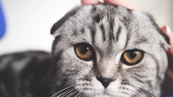 tulajdonosnő stroke a macskák vissza. vidám macska hazudik és néz levegőbe fényképezőgép lencse. Közeli. gyönyörű brit skót Fold macska. kisállat pihen a szobában. gyönyörű cirby macska.