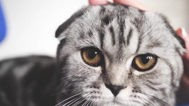 proprietress strokes the cats back. happy cat lies and looks into the camera lens. close-up. beautiful british scottish fold cat. pet rests in the room. beautiful tabby cat.
