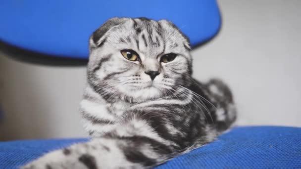 krásná kočka. Britská Skotská kocoura. kočka lže. v místnosti odpočívá v pokoji.