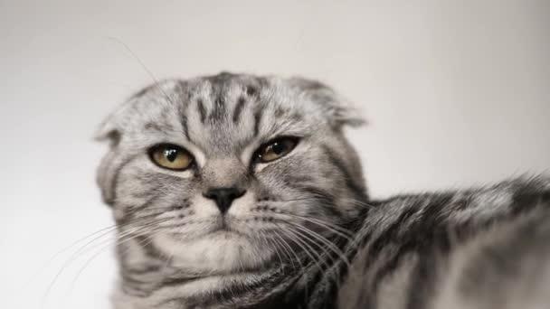 šťastná kočka lže a dívá se do objektivu kamery. Close-up. krásná Britská Skotská kocoura. v místnosti odpočívá v pokoji. krásná kočka.