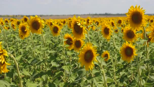Pole žlutých slunečnic na pozadí oblohy. slunečnice se houpe ve větru. pole se slunečnicemi v létě. Obilí zrající na poli. zralá semena pro výrobu rostlinného oleje