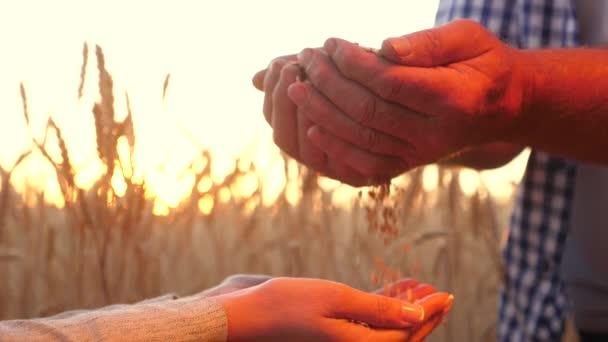 Farmer agronómus, és tartsa a kezükben egy szem búza. csapatmunka a terepen üzletember és farmer. Az üzletember ellenőrzi a gabona minőségét. Begyűjtési cerea